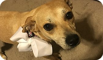 Labrador Retriever/Chihuahua Mix Dog for adoption in Wilwaukee, Wisconsin - A - DAISY
