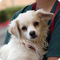Adopt A Pet :: Snowball - Palmdale, CA