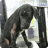 Labrador Retriever Mix Puppy for adoption in Denver, Colorado - Cliff