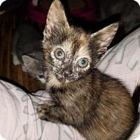 Adopt A Pet :: Pattycake - Parker Ford, PA