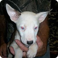 Australian Cattle Dog/Siberian Husky Mix Puppy for adoption in Mansfield, Texas - Elsa