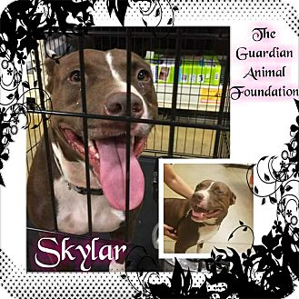 Labrador Retriever/Mixed Breed (Large) Mix Dog for adoption in Greenville, North Carolina - Skylar