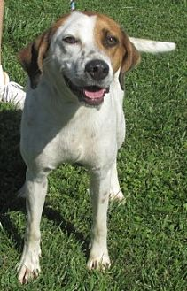 Pointer Mix Dog for adoption in Mount Sterling, Kentucky - Kylie