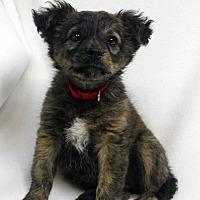 Adopt A Pet :: Anna - Westminster, CO
