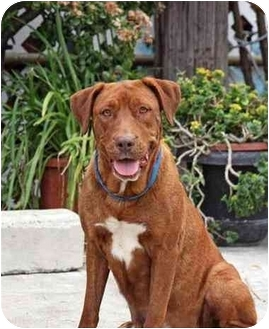 Labrador Retriever/Hound (Unknown Type) Mix Dog for adoption in West Los Angeles, California - Wanda