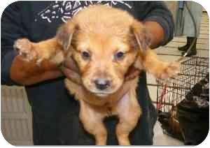 Golden Retriever/German Shepherd Dog Mix Puppy for adoption in Alexandria, Virginia - Jingle Bell