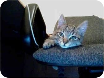 Domestic Shorthair Kitten for adoption in Davis, California - LT
