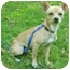 Photo 1 - Chihuahua Puppy for adoption in Mt. Prospect, Illinois - Dijon