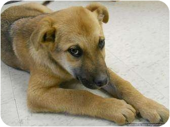 Shepherd (Unknown Type) Mix Puppy for adoption in Morden, Manitoba - Kermit