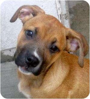 Boxer/Bullmastiff Mix Puppy for adoption in Chicago, Illinois - Ivy