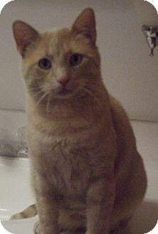 Domestic Shorthair Cat for adoption in Colorado Springs, Colorado - Jordan