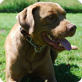 Chesapeake Bay Retriever Mix Dog for adoption in Chilliwack, British Columbia - MILLER