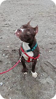 American Pit Bull Terrier Mix Puppy for adoption in bridgeport, Connecticut - Potter