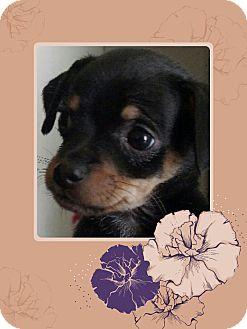 Miniature Pinscher/Chihuahua Mix Puppy for adoption in Phoenix, Arizona - Blossom