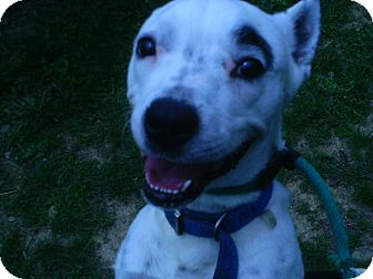 Boston Terrier/Pointer Mix Dog for adoption in Staunton, Virginia - Spot