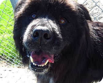Chow Chow Mix Dog for adoption in Meridian, Idaho - Bruno