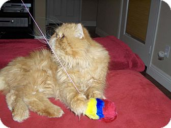 Persian Cat for adoption in Beverly Hills, California - Daydream Believer