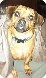 Pug/Dachshund Mix Dog for adoption in Chattanooga, Tennessee - Captain Chaos