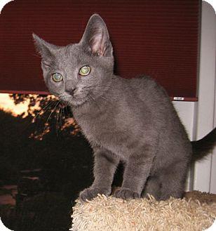 Russian Blue Kitten for adoption in Colmar, Pennsylvania - Blue