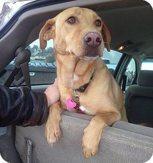 Labrador Retriever Mix Dog for adoption in Knoxville, Tennessee - Maradona
