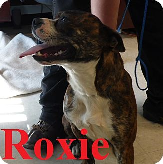 American Pit Bull Terrier Dog for adoption in Franklin, North Carolina - Roxie