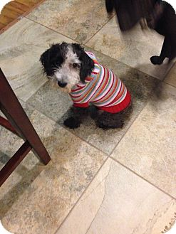 Poodle (Miniature) Mix Dog for adoption in Valley Stream, New York - Kiki