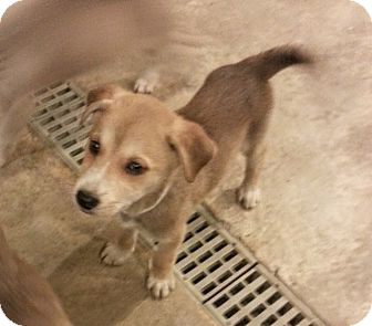 Husky/Great Pyrenees Mix Puppy for adoption in Chicago, Illinois - Prim*ADOPTED!*