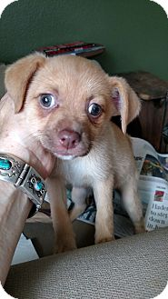 Italian Greyhound/Pomeranian Mix Puppy for adoption in Simi Valley, California - Rose