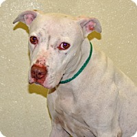 Adopt A Pet :: Sugar - Port Washington, NY