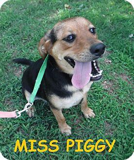 Hound (Unknown Type) Dog for adoption in Batesville, Arkansas - Miss Piggy