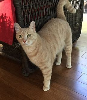 Domestic Shorthair Cat for adoption in Chattanooga, Tennessee - Buff