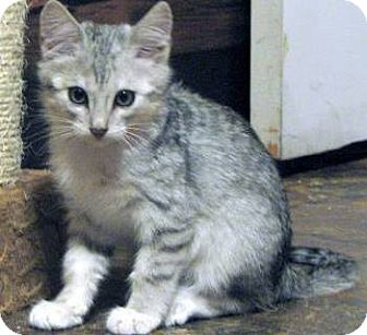 Domestic Mediumhair Kitten for adoption in Davis, California - Lobo