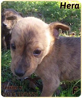 Terrier (Unknown Type, Small) Mix Puppy for adoption in DeForest, Wisconsin - Hera