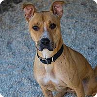 Boxer/Labrador Retriever Mix Dog for adoption in Decatur, Georgia - BENZ