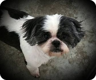 Shih Tzu/Lhasa Apso Mix Dog for adoption in Paducah, Kentucky - Shaggy