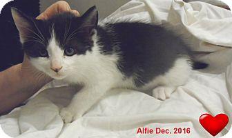 Domestic Mediumhair Kitten for adoption in Pensacola, Florida - Alfie