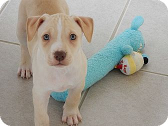 American Staffordshire Terrier Mix Puppy for adoption in Long Beach, New York - Aspen