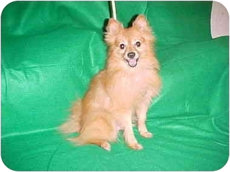 Pomeranian Dog for adoption in Conroe, Texas - Taylor