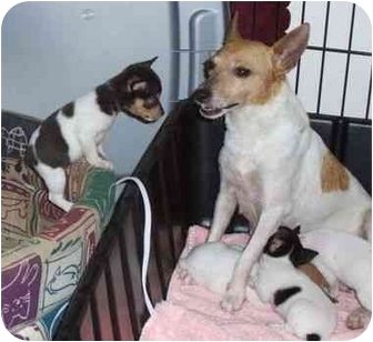 Smooth Fox Terrier/Terrier (Unknown Type, Small) Mix Dog for adoption in Salem, New Hampshire - Mama Tuesday