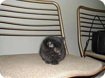 Domestic Shorthair Kitten for adoption in Walnutport, Pennsylvania - Mocha