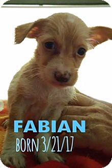 Yorkie, Yorkshire Terrier/Chihuahua Mix Puppy for adoption in Glendale, Arizona - FABIAN