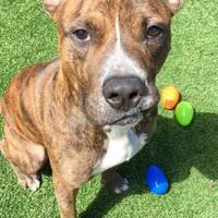 Adopt A Pet :: Charlie - Land O'Lakes, FL