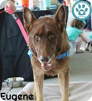 Shepherd (Unknown Type) Mix Dog for adoption in Kimberton, Pennsylvania - Eugene