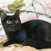 Domestic Shorthair/Domestic Shorthair Mix Cat for adoption in Maryville, Missouri - Midnight