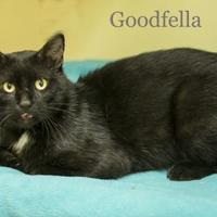 Domestic Shorthair/Domestic Shorthair Mix Cat for adoption in West Des Moines, Iowa - Goodfella