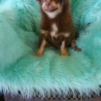 Adopt A Pet :: Reeses - Wichita Falls, TX