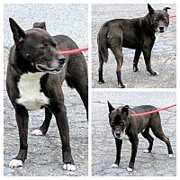 Adopt A Pet :: Bowser - Middletown, NY