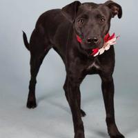 Adopt A Pet :: Arya - Irving, TX
