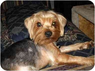 Yorkie, Yorkshire Terrier Dog for adoption in Conroe, Texas - Jermey