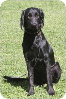 Flat-Coated Retriever/Saluki Mix Dog for adoption in Santa Rosa, California - Jasmine